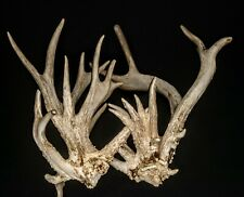 """222"""" Non-Typical Whitetail Deer Antlers Sheds Horns Racks Buck Taxidermy Cabins"""
