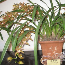 Orchid Acanthephippium Flower 36 Seeds Species (Type T15) Real Seeds
