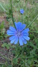 Wild Flower - Chicory - Cichorium intybus - 1500 Seeds