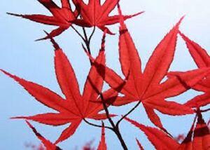 5 x Redleaf Japanese Maple tree seeds (acer palmatum atropurpureum)