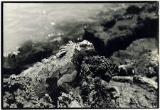 Photo Anonyme Iguane Animal Vers 1980