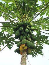 Mexican Papaya (Carica papaya) Tropical  Fruit Tree