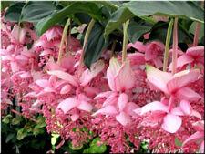 10Pcs Seeds Lotus Lantern Bonsai Tree Diy Potted Plant Home Gardens