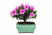 """Satsuki Azalea Outdoor Bonsai Tree - Blooms in Spring 5 years old 8"""" Tall"""