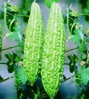 10 Seeds Long Green Bitter Melon Gourd Karela Luffa The Wonder Cure for Diabetes