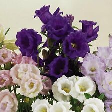 Campanula Canterbury Bells Seeds Cup And Saucer Mix Double Flowers 100 Seeds