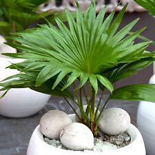Indoor Houseplant - Livistona Palm - Decorative Tropical Gift Plant in 12cm Pot