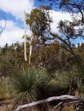 Tufted Yacca Grass Tree Seed (X. semiplana) Rocky Soils Evergreen