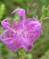 Claw Flower Seed Small Shrub Drought/Frost Resistant Dainty Pink Flower Native