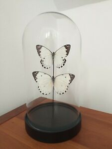 Real Butterflies in Glass Dome Next Day Delivery Butterfly