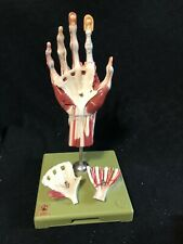 Somso Surgical Hand Anatomical Model Muscles Tendons Nerves Vessels NS13/1
