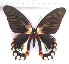 Papilio rumanzovia Weibchen ex Marinduque, Philippinen,rare form!!!  n373a