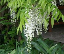 10 Samen  der weißen Glyzinie Wisteria alba sinensis  Bonsai