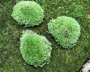 Cushion Moss, three live pieces, each about 3-4 inches in diameter