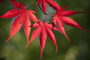 Red Japanese Maple Tree 1-3 feet tall