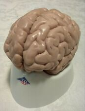 Used 3B Scientific Classic Human Brain Model , 5 part Anatomical Model Anatomy