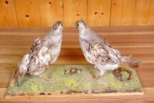 Schönes Rebhuhn-Paar  Grey Partridge Taxidermy mit Bescheinigung
