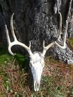 Head Skull Whitetail Deer Antlers 8 Point, Extremely Clean
