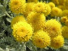 SANTOLINA CHAMAECYPARISSUS alv pianta Splendido cespuglio aromatico tappezzante