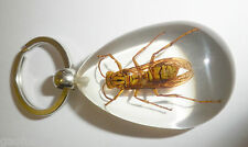 Insect Key Ring Yellow Paper-Wasp Polistes olivaceus Specimen SK09 Clear