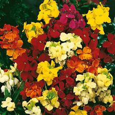 Wallflower - Crown Single Mixed - 1000 Seeds