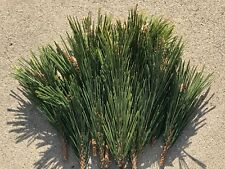 7.5 Oz Fresh Organic Nature Pine Tree Needle Tea Loose Leaf leaves