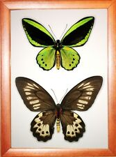 Real Insect: Ornithoptera priamus priamus pair in frame made of expensive wood !