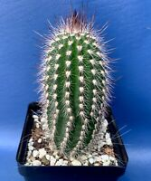 "ESPOSTOA BLOSSFELDIORUM IN A 4"" POT, SEED GROWN CACTUS PLANT, #1331"