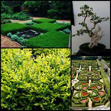 8 Korean Box Hedge Bonsai Boxwood Hedge Garden Plants Buxus microphylla koreana