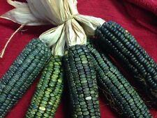 Grüner Mais - Oaxacan Green Corn - 50+ Samen - BESONDERS und FEIN!
