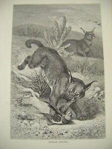 Original Antique Wood Engraved Print ~ ''Caracals Hunting'' c1889 ~ F. Specht