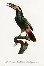 "Barraband and Levaillant: ""Black-necked Aracari"" (1806) — Giclee Fine Art Print"