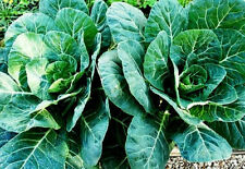 Collard Seeds, Champion, Heirloom Collards, Bulk Seeds, Collard Greens, 500+