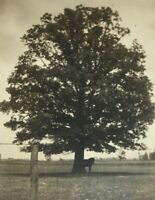 c 1910s Horse Under Shade Tree Real Photo Postcard RPPC Unposted