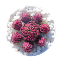 1-cut 4cm CRASSULACEAE Sempervivum Succulent live Plant Home Garden pot Flower