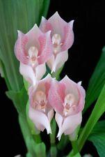 Anguloa virginalis 2 bulbs 1 new shoot 15 x 20 Y.P.