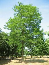 25 GRAINES DE ROBINIER FAUX-ACACIA (Robinia pseudoacacia) BLACK LOCUST SEEDS