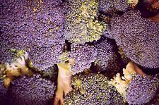 200 Samen lila Brokkoli Purple Sprouting Early frostharte Sorte