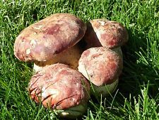 PORCINI OR KING BOLETUS MUSHROOMS- Naturals 8 oz. DRIED