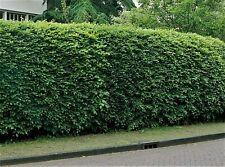 25x Hainbuche, schnellwachsende Heckenpflanzen, 30-60 cm Carpinus betulus
