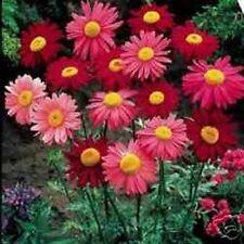 50+ ROBINSON'S MIX CHRYSANTHEMUM   PERENNIAL FLOWER SEEDS / DEER RESISTANT/ GIFT