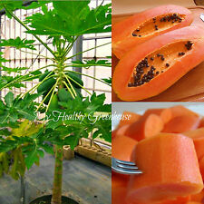 "SEEDS – Dwarf Fast Growing Self-pollinating Papaya ""Maradol Roja"" Red Flesh"