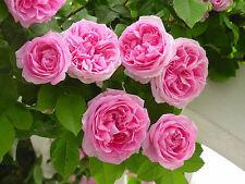 15 Seeds Pink Climbing Rose Flower Seeds Imported Good seeds Beautiful Garden
