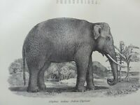 ANTIQUE PRINT DATED C1870'S PROBOSCIDEA INDIAN ELEPHANT ENGRAVING ANIMALS ART