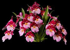 Milt. Breathless 'Beauty' Cattleya Orchid Plant 2.5 Inch Pot
