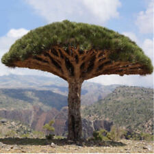 10pcs Canary Island Dragon Blood Tree seeds bonsai seed Giant Exotic Tree Fresh