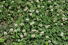 WHITE DUTCH CLOVER SEED * COVER CROP * PERENNIAL LEGUME * LOW GROWING *10K BULK