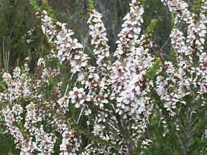 Manuka Jelly Bush 350+ FRESH seeds Leptospermum liversidgei January Flowering