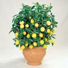Verna árbol De Limón 15 Semillas Seleccionadas-Citrus Limon Bonsai Árbol SOW todo el año