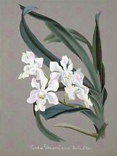 PAINTING BOOK PAGE ORCHID VANDA DENISONIANA LARGE ART PRINT POSTER LF1494